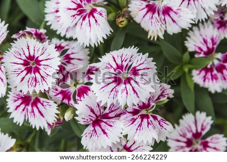 Closeup of pink Dianthus Chinensis Flowers in the garden - stock photo
