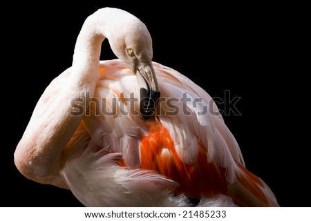 Closeup of pink flamingo isolated on black background with clipping path