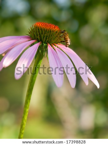 closeup of pink flower and bee. shallow dof