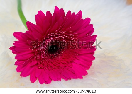 Closeup of pink gerbera on fur