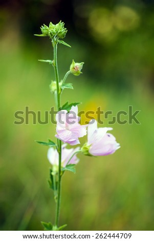 Closeup of pink Hollyhock flowers on green meadow - stock photo