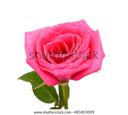 Closeup of pink rose flower isolated on white background
