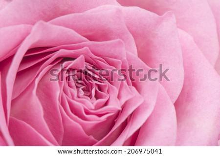 closeup of pink rose in full bloom - stock photo