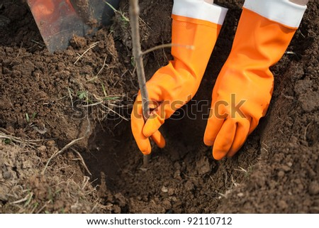 Closeup of planting  sprouts shrubbery in ground - stock photo