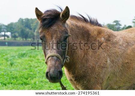closeup of pony in a greein field in Jeju Island, Korea.