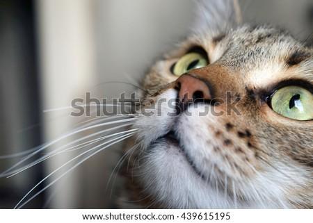 Closeup of portrait a domestic cat - stock photo