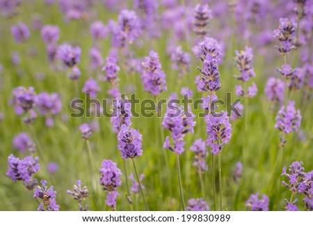 Closeup of purple blooming Lavender or Lavendula plants in the early summer season.