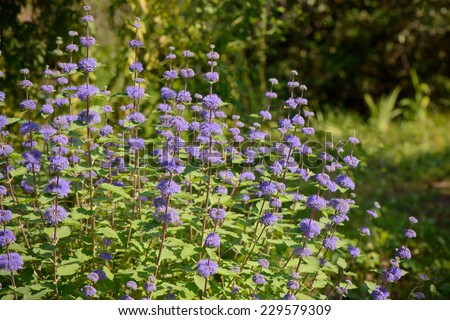 closeup of purple Caryopteris incana flowers in a field - stock photo