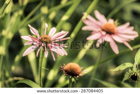 Closeup of purple Echinacea flower ( Cone Flower ) - stock photo