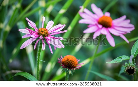 Closeup of purple Echinacea flowers ( Cone Flowers ) - stock photo
