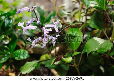 closeup of purple Mona lavender flowers in full bloom - stock photo