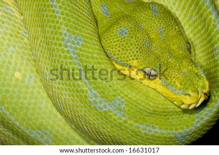 Closeup of Python face - stock photo