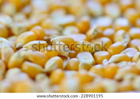 closeup  of raw corn seeds : selective focus with blur foreground and background - stock photo
