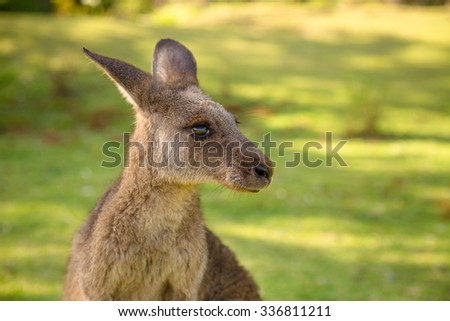 Closeup of red australian kangaroo, Macropus rufus, in famous Pebbly Beach in the Murramarang National Park, south coast region, New South Wales, Australia.