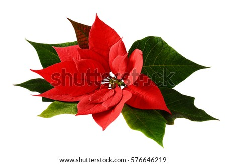 closeup of red christmas poinsettia isolated on white - Christmas Poinsettia