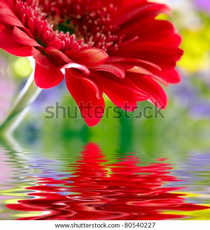 Closeup of red daisy-gerbera reflected in the water - stock photo
