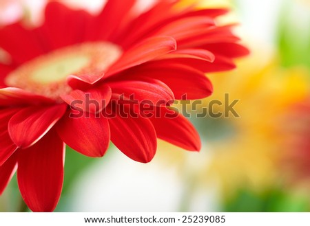 Closeup of red daisy-gerbera with waterdrops