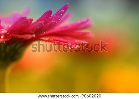 Closeup of red daisy-gerbera with waterdrops - stock photo