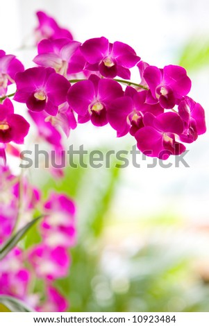 Closeup of red dendrobium orchid outdoor. - stock photo