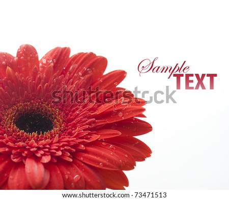 Closeup of red gerber with water drops - stock photo
