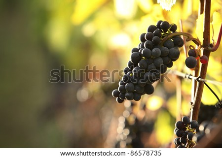 closeup of red grapes in a vineyard