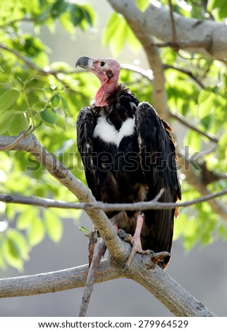 Closeup of Red headed vulture  - stock photo