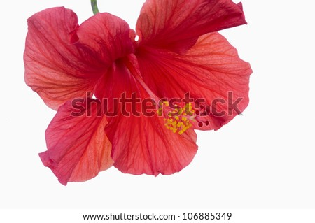 Closeup of red Hibiscus flower with vibrant red petals showing pistils and anthers atop stamen against white background