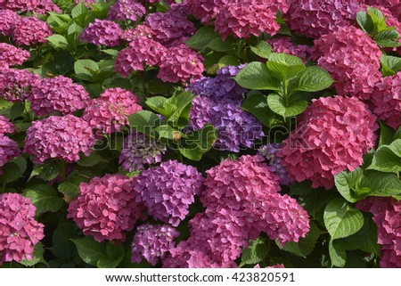 Closeup of red Hydrangea macrophylla flowers (or hortensia) - stock photo