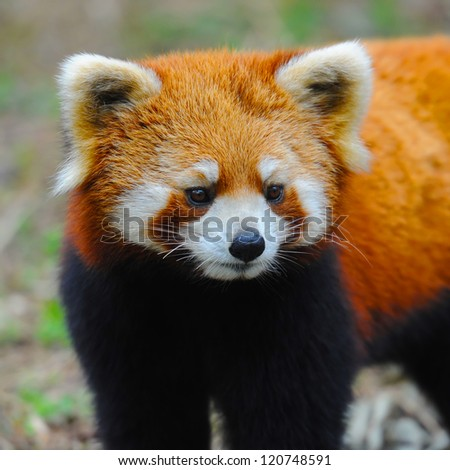 Closeup of red panda ( also called lesser panda ) - stock photo