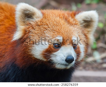 Closeup of red panda bear - stock photo