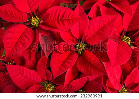 Closeup of red poinsettia flowers (Euphorbia pulcherrima)