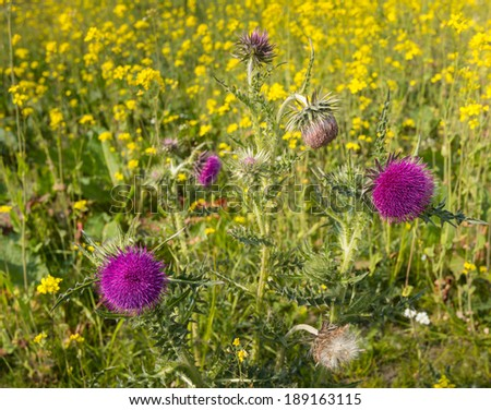 Closeup of red-purple budding  and flowering thistle plants with yellow blooming Field Mustard in the background. - stock photo