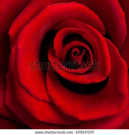 Closeup of red rose - stock photo