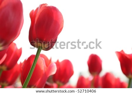Closeup of red tulips on white background - stock photo