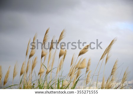 Closeup of reed flower,wind - stock photo