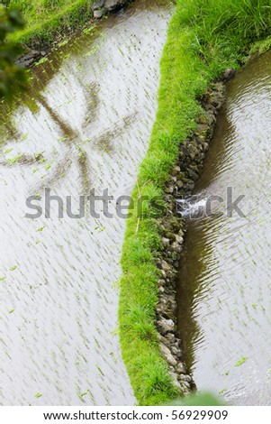 Closeup of rice field with palm reflection - stock photo