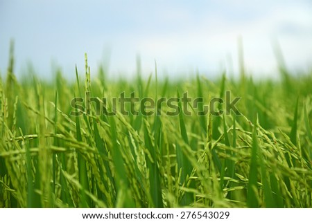 Closeup of rice paddy field - stock photo
