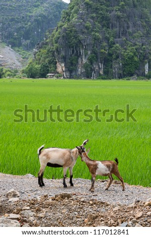Closeup of Rice plantations and goats in Vietnam - stock photo