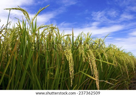 Closeup of rice seed on rice plant,Thailand - stock photo