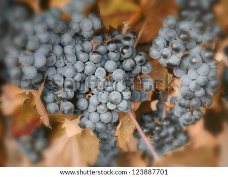 Closeup of ripe blue grapes ready for harvest Rioja, Spain. Shallow depth of fields.