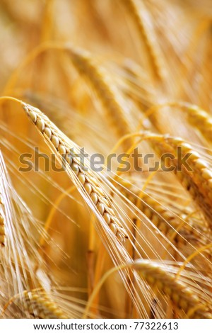 Closeup of ripe wheat - stock photo