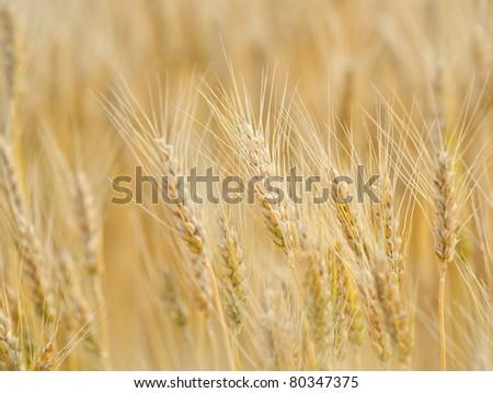Closeup of ripe wheat - stock photo