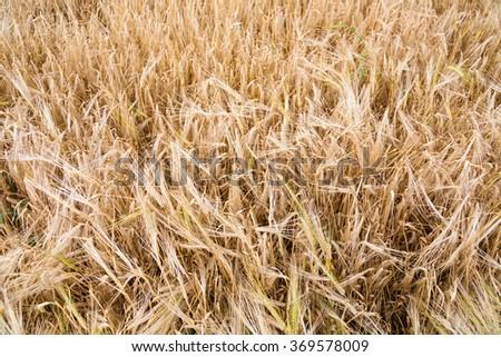 Closeup of ripe wheat just before harvesting - stock photo