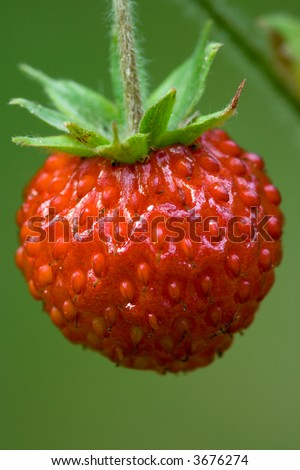 Closeup of ripe wild strawberry in the forest. - stock photo