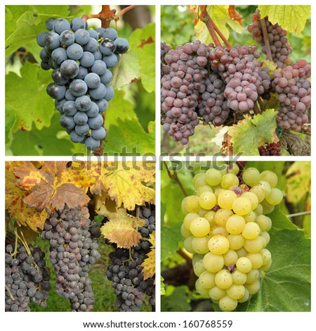 closeup of ripe wine bunch grapes in vineyard - collage  - stock photo
