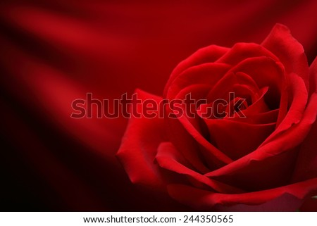 Closeup of rose flower on red background - stock photo