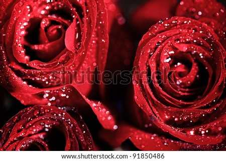 Closeup of rose with water drops - stock photo