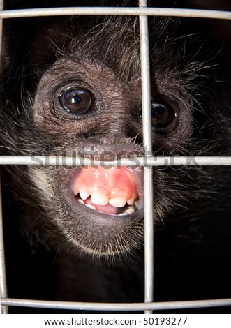 closeup of sad captive monkey grimacing behind wire of cage