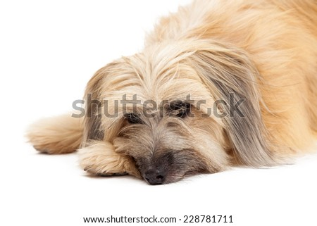 Closeup of sad looking Pyrenean Shepherd Dog