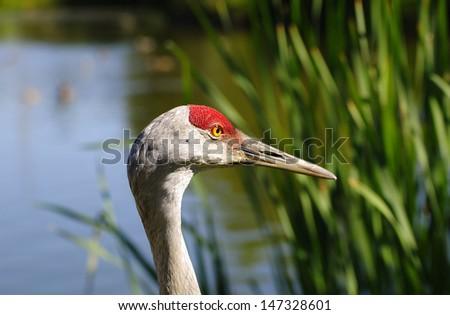 closeup of sandhill crane - stock photo